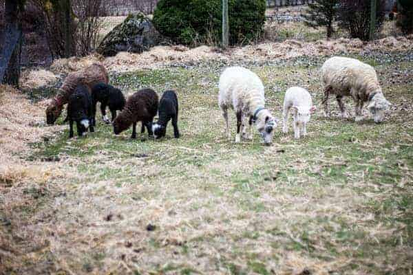 The whole flock. The lambs are, from left: Nibs, Stella, Cocoa, Liesl and Luna.