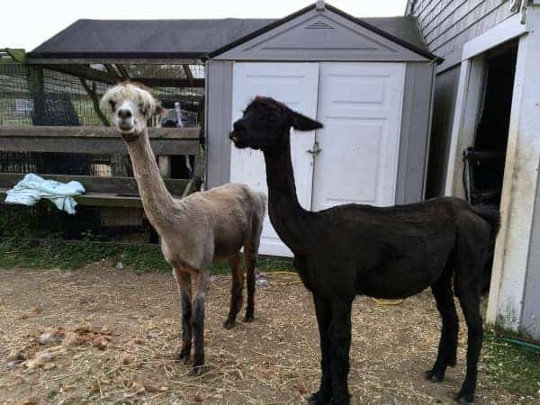 North Light alpaca sheared