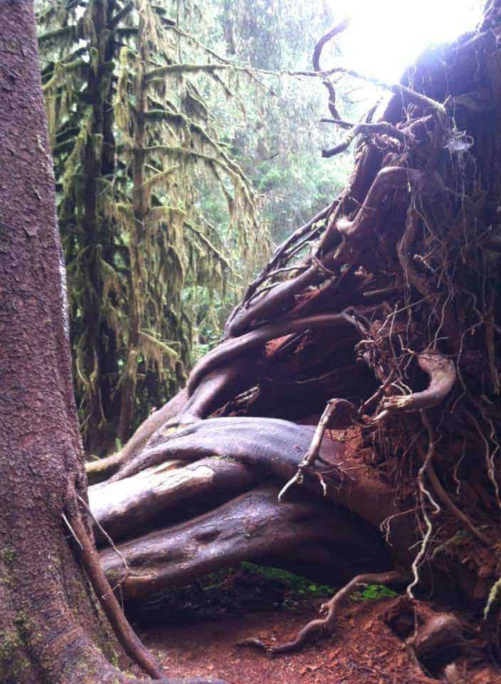 Large tree roots.