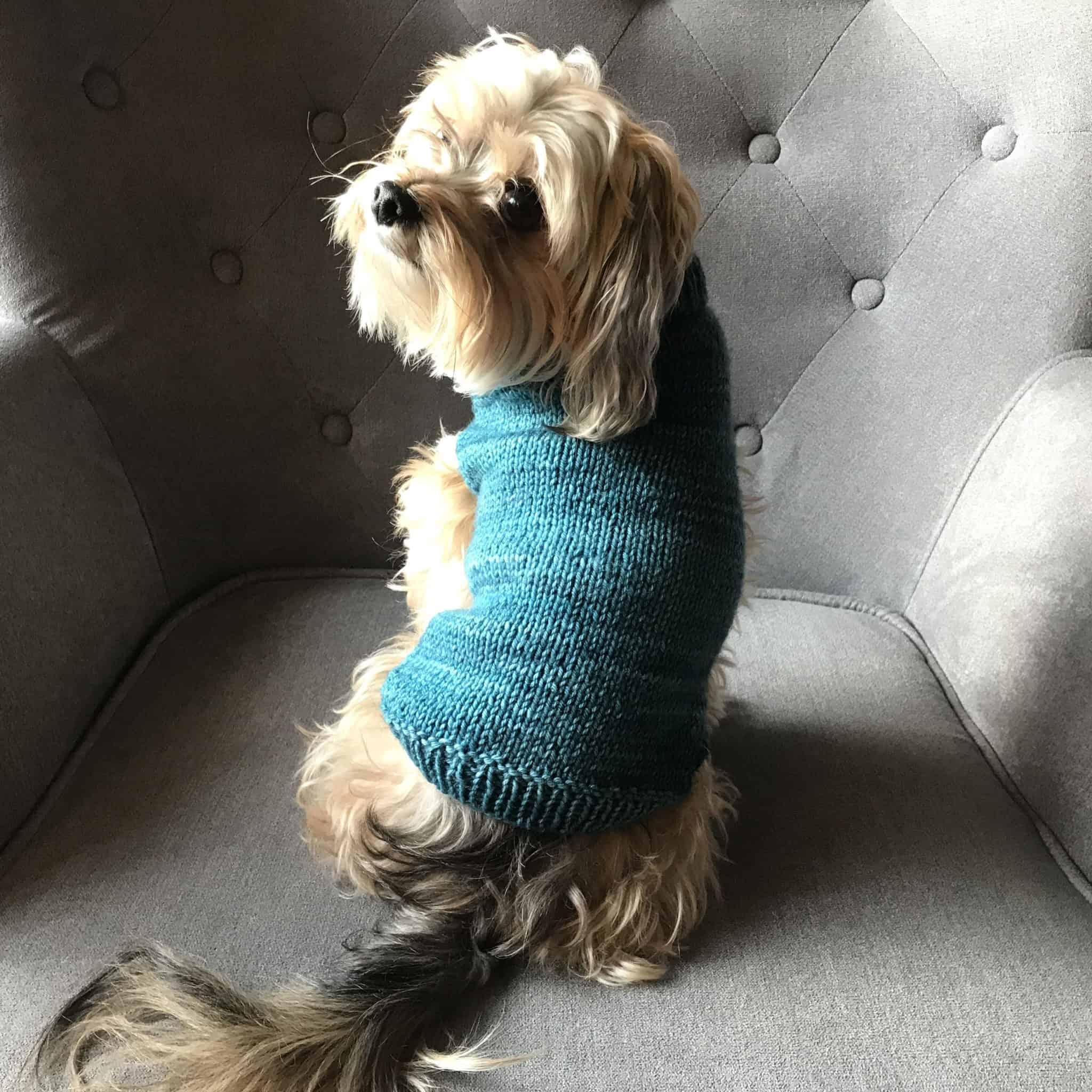 A dog wears a teal sweater.