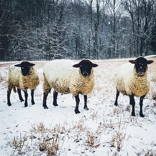 Three white sheep with black faces in the snow.