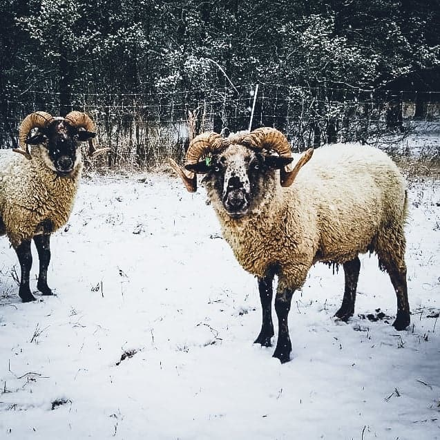 Two sheep in the snow.