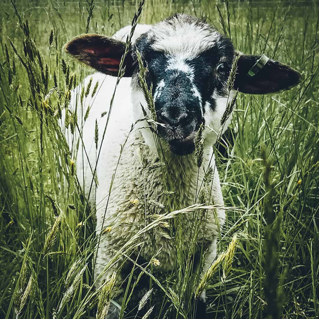 A black and white lamb in tall grass.