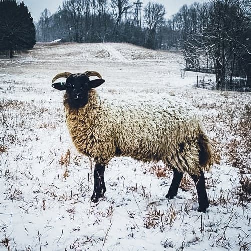 A white sheep with a black face.