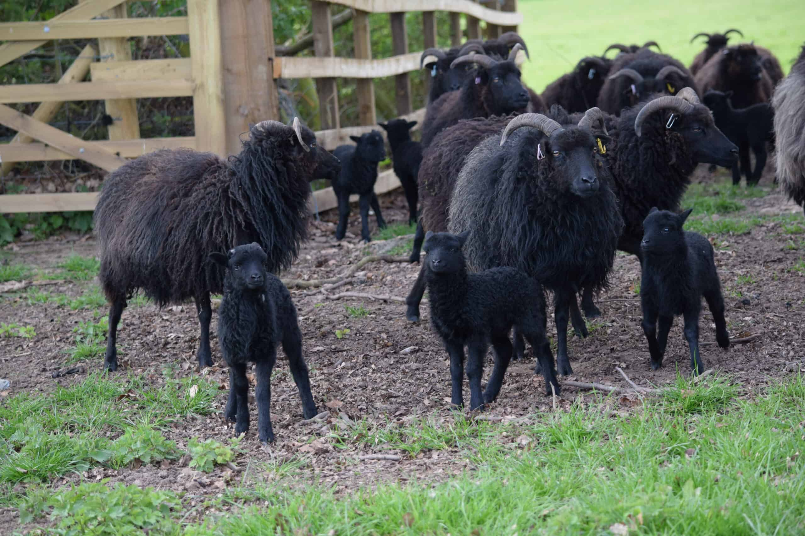 A flock of black sheep.
